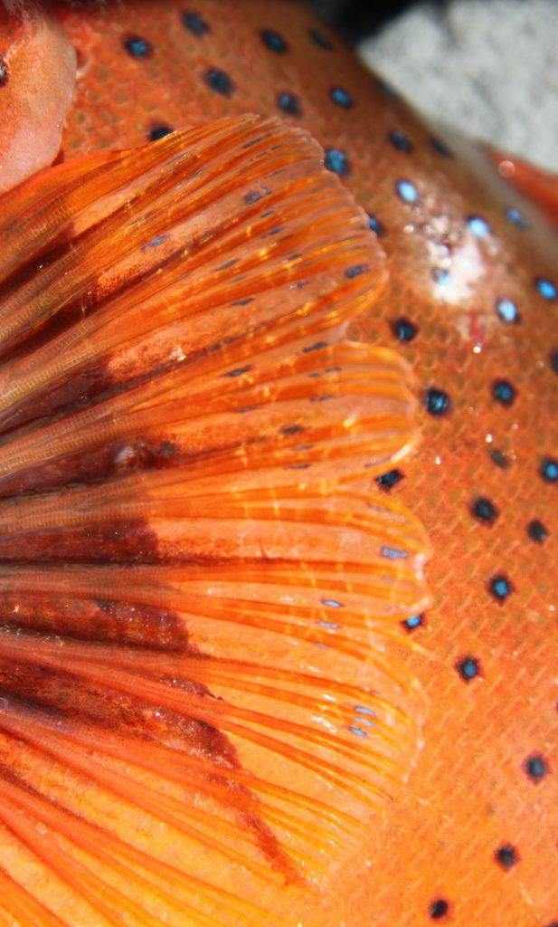 Common Coral trout fin