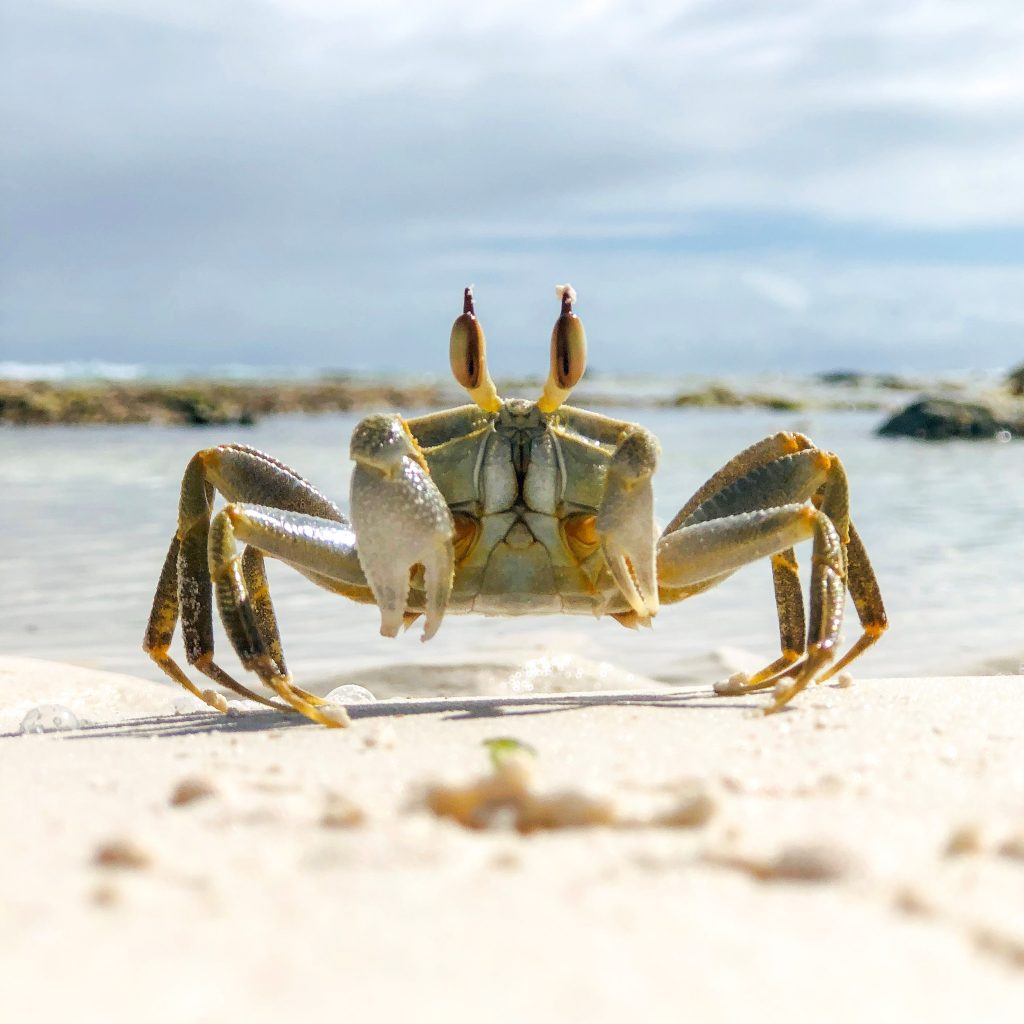 Image of Olive Green stalked-eyed ghost crab