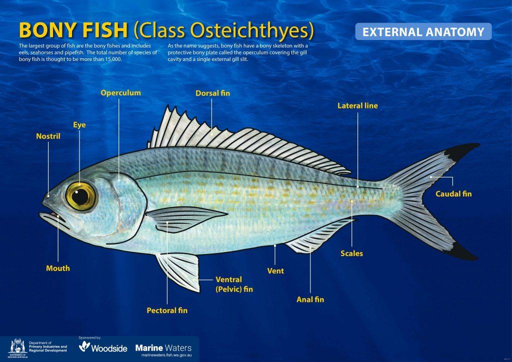 Poster - Bony Fish - external anatomy - basic
