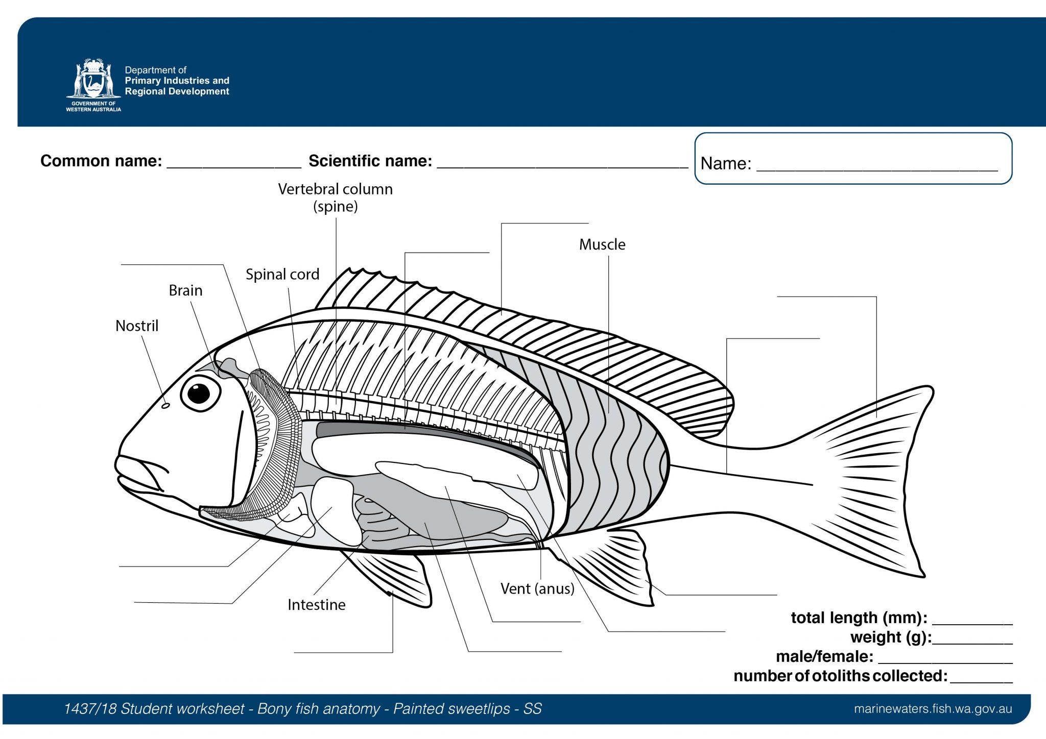 Student Worksheet Bony fish anatomy   Painted sweetlips ...