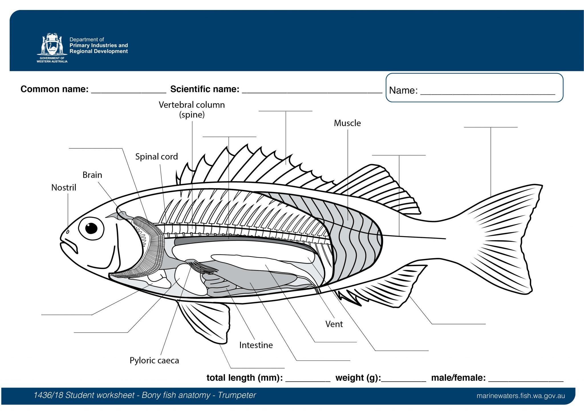Student worksheet Bony fish anatomy   Trumpeter ...
