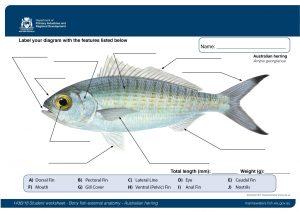 Student worksheet: Bony fish anatomy - Australian herring ...