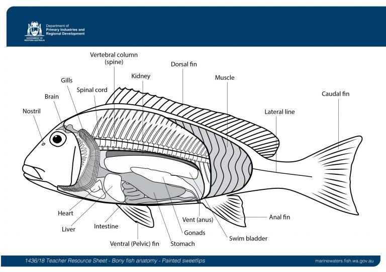 Teacher Resource Sheet: Bony fish anatomy - Painted ...