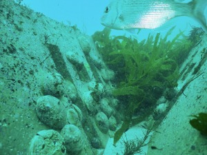 Abalone growing on artificial reef